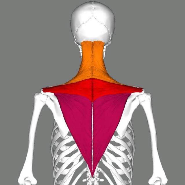 肩こりに関係する筋肉